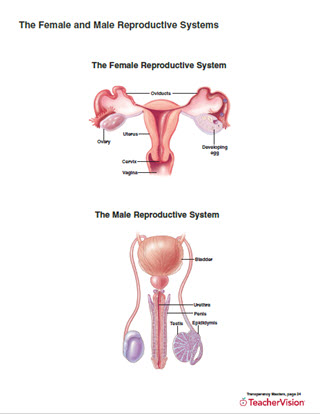 Male and Female Reproductive System Worksheet